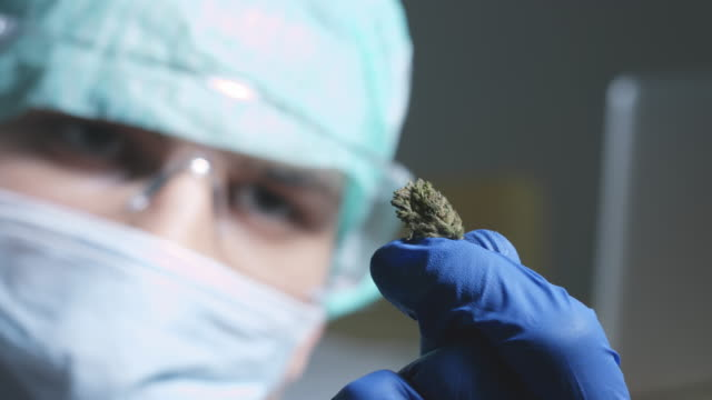Scientist examining cannabis buds Scientist examining cannabis buds in a laboratory with gloves and mask. cbd oil stock videos & royalty-free footage