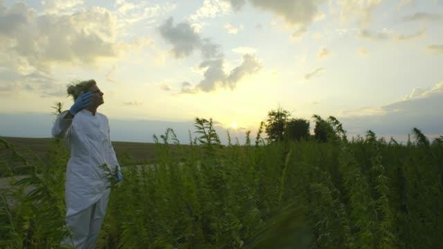scientist looking at bad and windy weather in marijuana cbd hemp plants field - pistillo video stock e b–roll