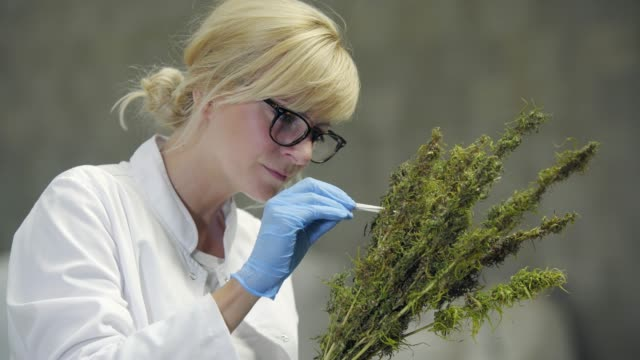 Scientist observing seeds of dry CBD hemp flowers with tweezers in factory Scientist observing seeds of dry CBD hemp flowers with tweezers in factory cannabidiol stock videos & royalty-free footage