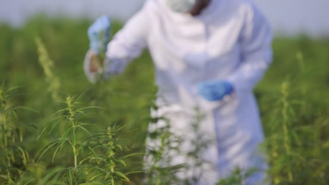Scientist with tweezers taking samples and observing CBD hemp plants on marijuana field