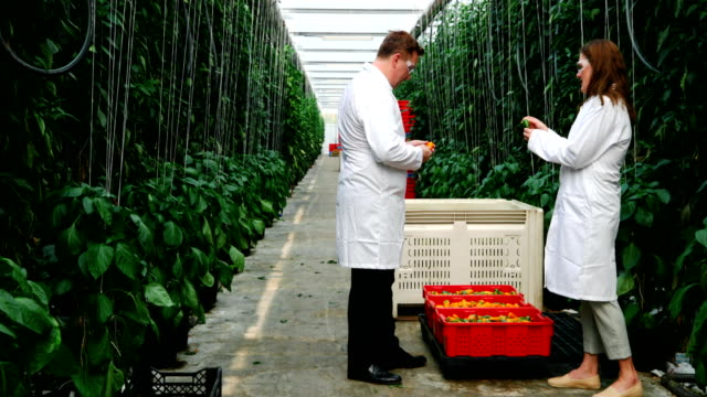 Video Scientists examining yellow pepper in green house 4k