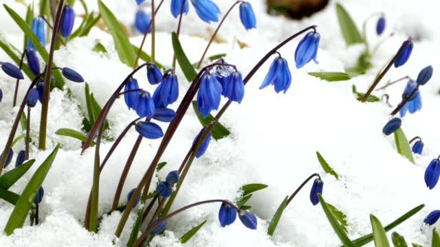 シラーブルーフラワー - 雪点の映像素材/bロール