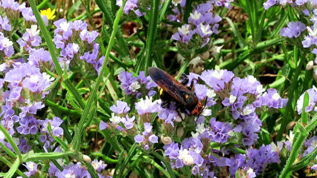 scoliid wasps (megascolia maculata), biggest of all european wasps. looking for collecting nectar on sea-lavender (limonium). found in crete, bay of malia. - torace animale video stock e b–roll