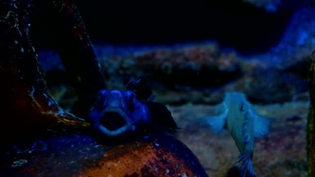 Scorpaena fish in the sea or aquarium.