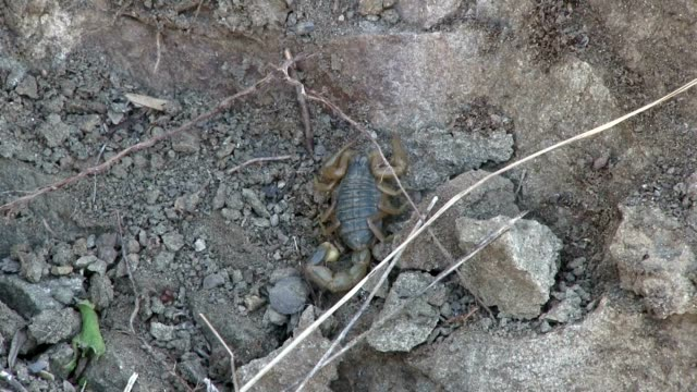 skorpion in the rocks - stechen tierverhalten stock-videos und b-roll-filmmaterial