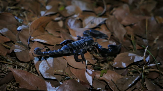 Scorpion moving in the forest. video