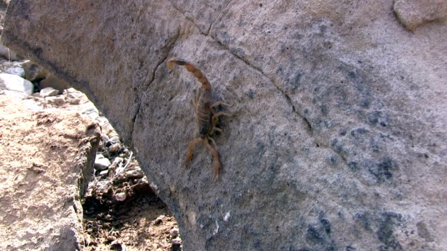 Scorpion on the Rock Scorpion tries to flee from camera  and hide itself under rock plant bark stock videos & royalty-free footage