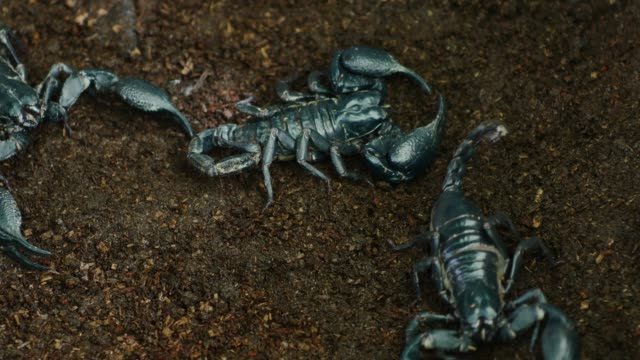 Scorpion walks on ground. video