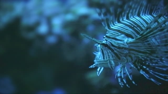 Scorpionfish or lionfish ver A - HD video