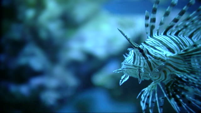 Scorpionfish or lionfish ver B2 - PAL video