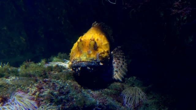 Scorpionfish - video