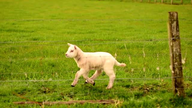 Scotland Lamb