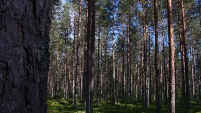 tallskog i norra sverige - pine forest sweden bildbanksvideor och videomaterial från bakom kulisserna