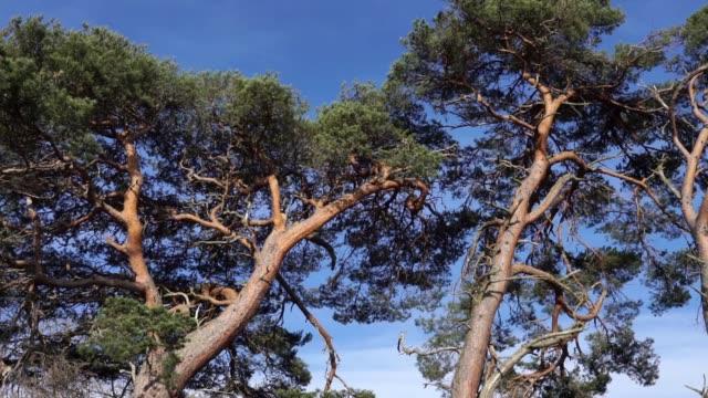 scots tallar (pinus sylvestris) nationella träd i skottland - fur bildbanksvideor och videomaterial från bakom kulisserna