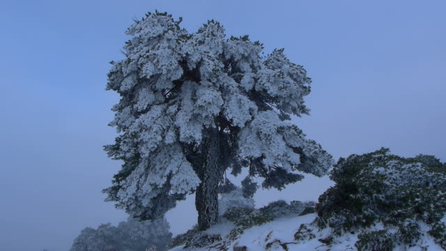 Scots pine Scots pine ice after blizzard in the Sierra de Baza pinching stock videos & royalty-free footage