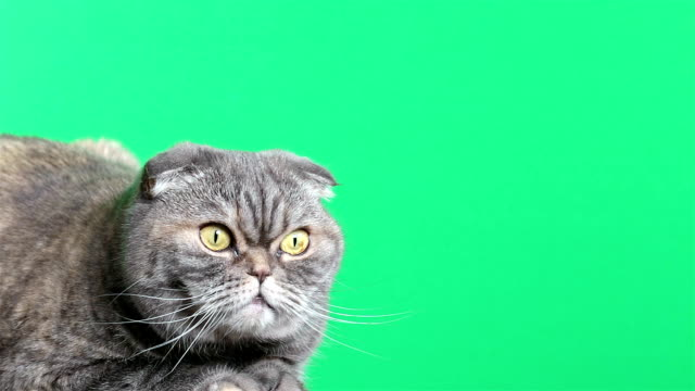 scottish fold cat. cat on a green background. - gatto soriano video stock e b–roll