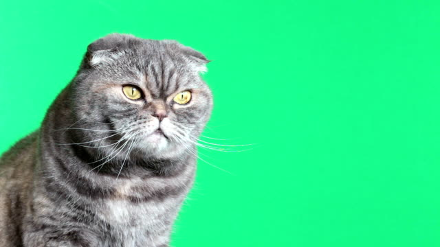 Scottish Fold Cat. Cat on a green background.