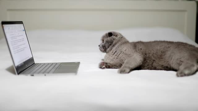 スコティッシュフォールド猫はベッドに横たわって、ノート パソコンで文書を読みます。 - 灰色点の映像素材/bロール
