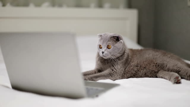 Scottish Fold cat is watching a movie on a laptop.
