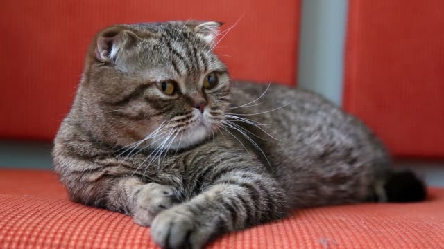 scottish fold cat laying on a sofa, looking around and yawn - baffo parte del corpo animale video stock e b–roll