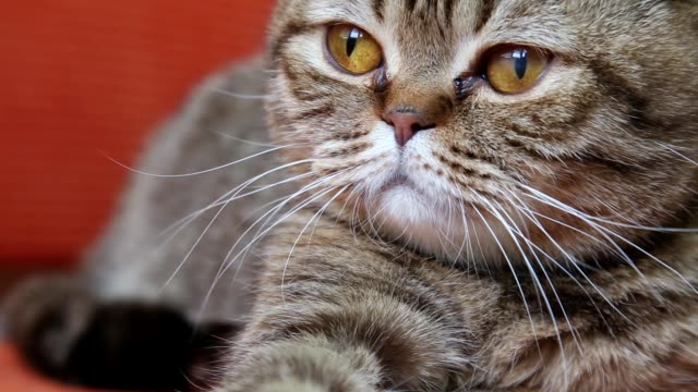 scottish fold cat laying on a sofa, looking to the camera, muzzle close-up. - baffo parte del corpo animale video stock e b–roll