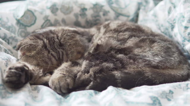 Scottish fold cat sleeping on white blanket closeup view