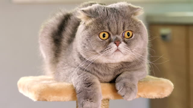 scottish fold cat - sorpresa video stock e b–roll