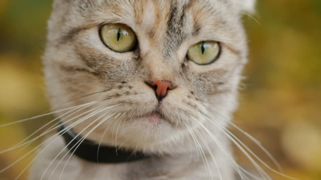 scottish fold grey tabby cat in nature, close-up - soft focus video stock e b–roll