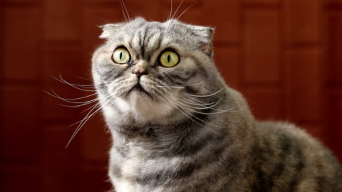 Scottish fold is looking at the camera. Portrait of a curious scottish fold. Cat looking at the camera. alertness stock videos & royalty-free footage