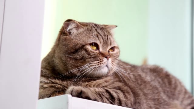 scottish fold kitten laying on a windowsill, looking around. - baffo parte del corpo animale video stock e b–roll