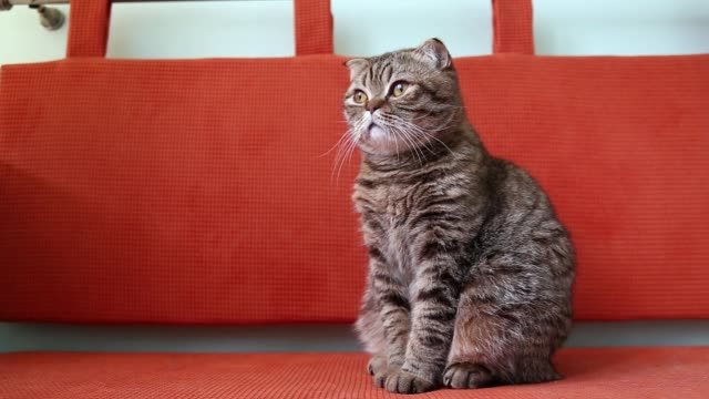 scottish fold kitten sitting on a sofa, and looking around. - baffo parte del corpo animale video stock e b–roll