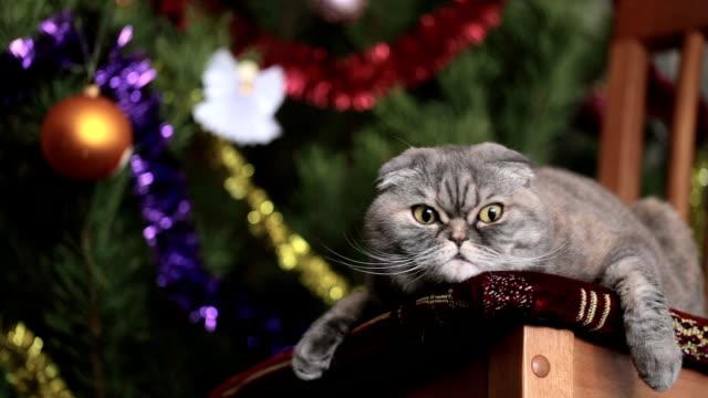 Scottish Fold on the background of Christmas tree.