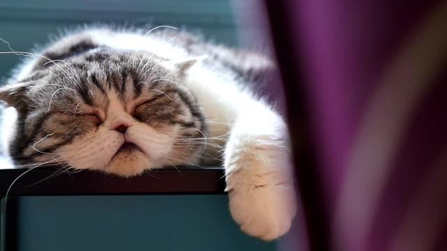 Scottish fold tabby kitten sleeping on sofa, Pan shot Scottish fold tabby kitten sleeping on sofa, Pan shot laziness stock videos & royalty-free footage