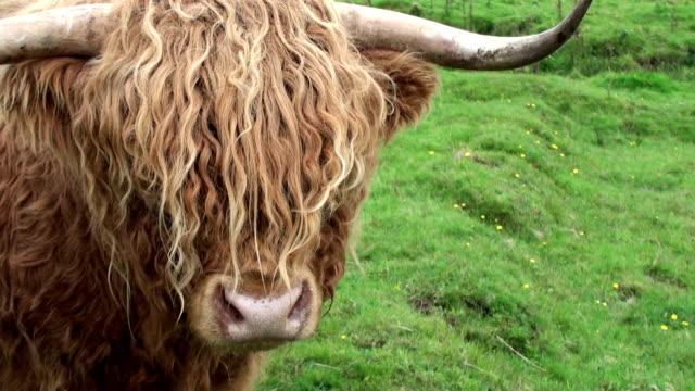 Scottish highland cow video
