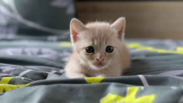 skotsk kattunge blandad med thailändsk katt. katt korsning. söt brun skotsk kattunge liggande och titta åt vänster och titta rätt på sängen. söt och stygg av kattunge eller katt koncept. sällskapsdjur. - kattunge bildbanksvideor och videomaterial från bakom kulisserna