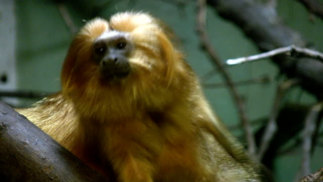 Scratch and sniff monkey smells own hand. video