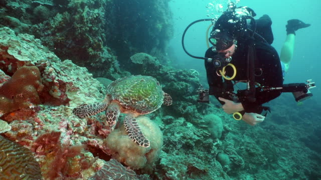 Scuba diver in rare eco tourism encounter with a Hawksbill Sea Turtle (Eretmochelys imbricata) swimming on underwater coral reef This lucky underwater photographer scuba diver has a rare encounter with a Critically Endangered Hawksbill Sea Turtle (Eretmochelys imbricata).  The diver observes as the Turtle eats Bubble coral.  Hawksbills are the most endangered of all sea Turtles.  Classified as critically endangered on the IUCN red list only 15,000 pairs remain in the wild.  Footage taken whilst scuba diving at Ko Haa islands, Andaman Sea, one of Thailand's top dive destinations. aqualung diving equipment stock videos & royalty-free footage