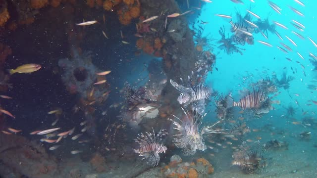 Scuba diving in a shipwreck full of lion fishes Underwater footage of the marine life in the Indian Ocean Madagascar ocean floor stock videos & royalty-free footage