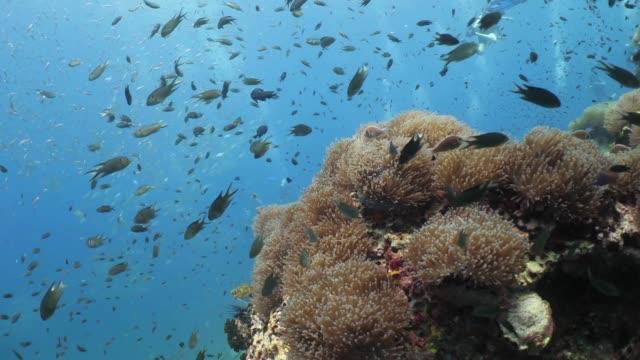 scuba diving in thailand. the richelieu rock diving site - żabnicokształtne filmów i materiałów b-roll