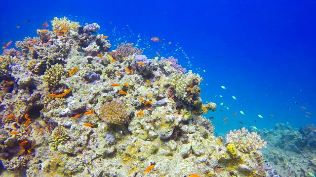 Scuba diving on coral reef / Red Sea video