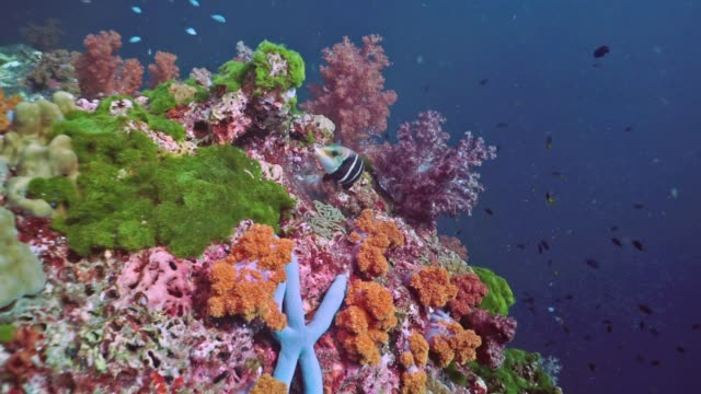 scuba diving point of view over pristine coral reef of alcyonarian soft coral, hin muang, thailand - under the sea fish video stock e b–roll