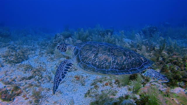 Scuba diving with Green Sea Turtle in Caribbean Sea near Akumal Bay - Riviera Maya / Cozumel , Quintana Roo , Mexico video