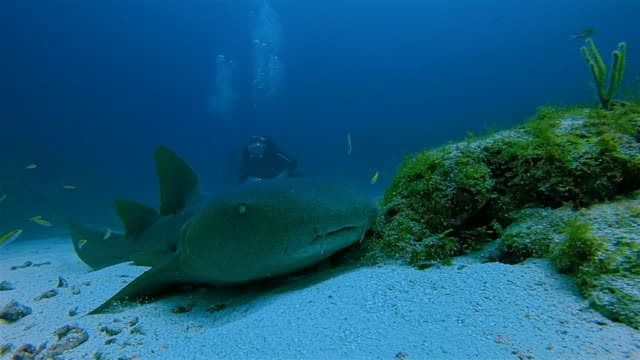 Scuba Diving with nurse sharks in Caribbean Sea - Belize Barrier Reef / Ambergris Caye video