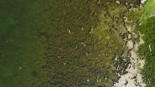 sea alae im seichten wasser - algen stock-videos und b-roll-filmmaterial