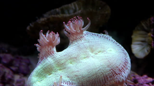 Sea anemone in natural environment. video