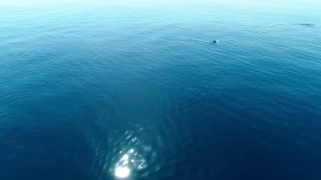 Sea background with dolphins, flying over the turquoise water in calm sea. video