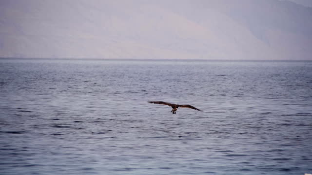 Sea Bird Osprey flying over the Red Sea Sea Bird Osprey flying over the Red Sea in search of fish. Slow Motion in 96 fps. Osprey hawk swoops down and search fish from water and flies away. Egypt. falcon bird stock videos & royalty-free footage