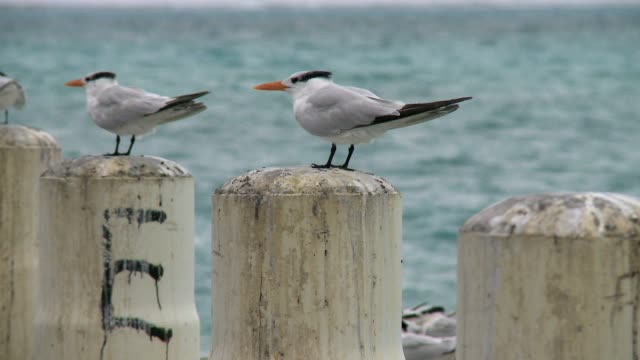 Sea birds (Terns) on a pier Sea birds (Terns) on a pier in Turks and Caicos, 2012 turks and caicos islands stock videos & royalty-free footage