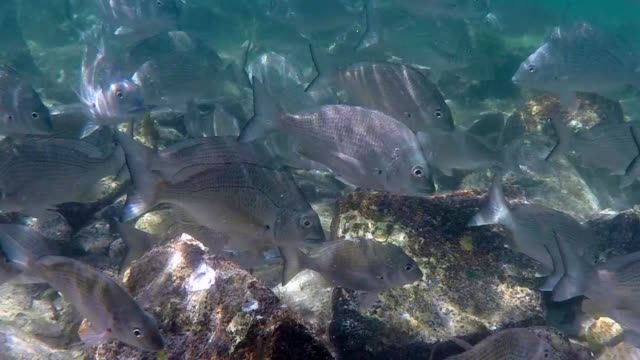 Sea Bream at Fly Point, Nelson Bay video