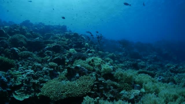 vídeos y material grabado en eventos de stock de brema de mar peces, arrecife de coral, palau - sea life park